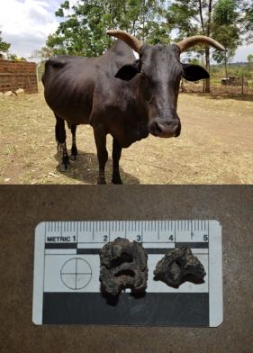 cow nut