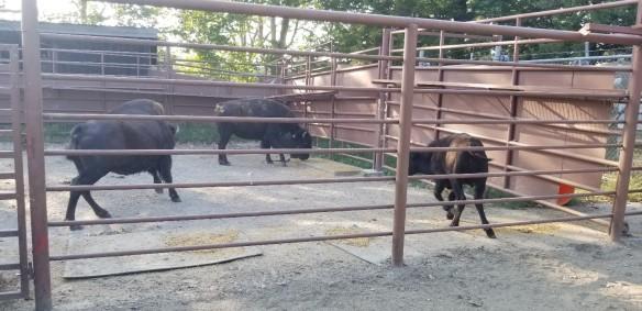 captive bison